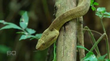 golden lancehead viper